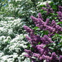 Lilac and Hawthorn