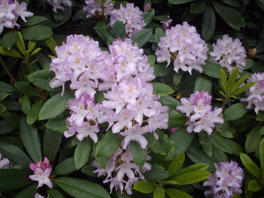 Rhododendron (lilac) (Rhododendron)