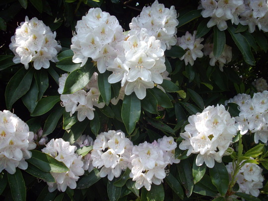 Rhododendron (very pale pink) (Rhododendron)