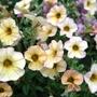 Petunia 'Vanilla Blush' - June 2010