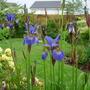 Iris Sibirica 'Tropic Night'