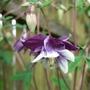 Aquilegia_purple_n_white