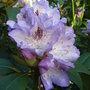 Rhododendron 'Blue Peter' (Rhododendron 'Blue Peter')