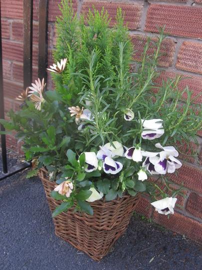 A garden flower photo (Rosmarinus officinalis (Rosemary))