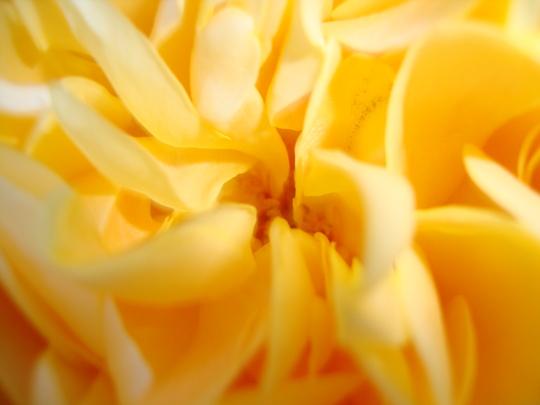 A garden flower photo (rosa Graham Thomas)