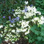Rhododendron 'Ptarmigan' (Rhododendron 'Ptarmigan')