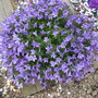 Campanula poscharskyana (Serbian bellflower) (Campanula poscharskyana (Serbian bellflower))