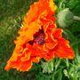 Garden_flowers_june_10_001
