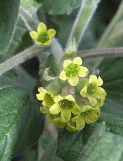 Ribes gayanum (Ribes gayanum)