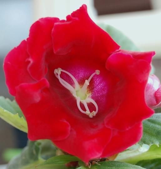 Gloxinia (Gloxinia perennis)
