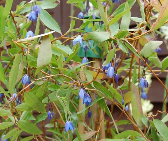 Bluebell Creeper in full bloom (Sollya heterophylla (Bluebell Creeper))