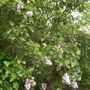 Next door's lilac tree