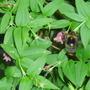 Summer Jasmin (Jasminum beesianum)