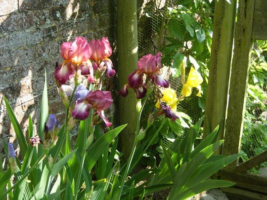 Mixed Irises