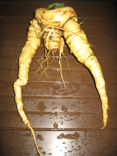 'organic parsnip' ;-) in March 2010