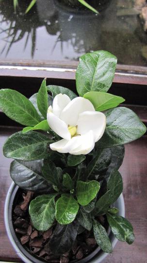 Gardenia 'Kleims Hardy'. (Gardenia)