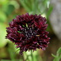 Centaurea cyanas Black Ball (Centaurea cyanus (Cornflower) Black Ball)