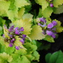 Lamium Cannon Gold... (Lamium maculatum Cannon Gold)