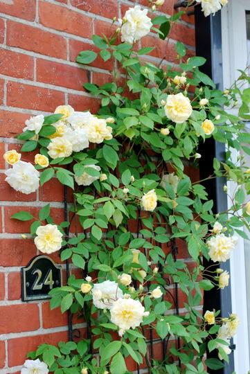 Rosa Malvern Hills...... (rose Malvern hills)