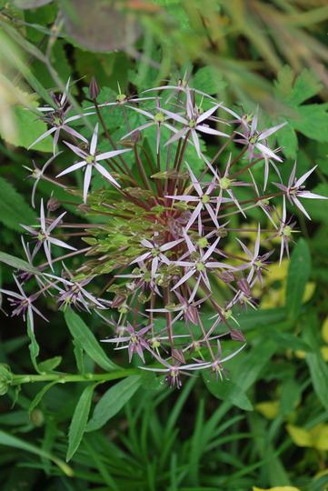 Allium christophii... (Allium christophii (Persian Onion))