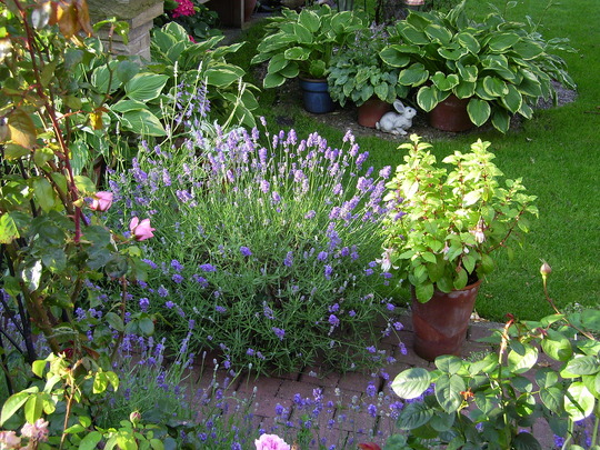 Lavender, Hidcote (Lavandula angustifolia (Lavender))