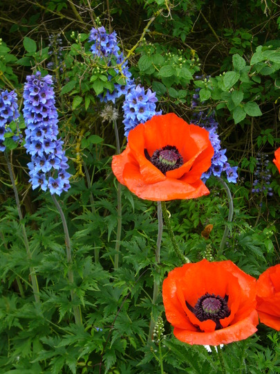 allegro and an unnamed delphinium (Delphinium elatum (Delphinium))