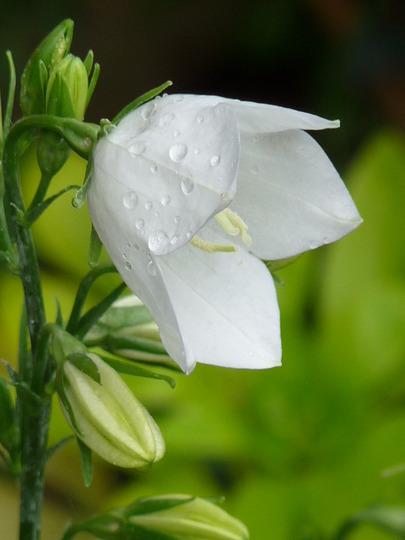 Campanula persicifolia (Campanula persicifolia (Peach-leaved bellflower))