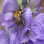 Blue Aconitum and little Bee (Aconitum delphinifolium (Larkspurleaf Monkshood))