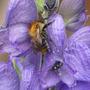 Aconitum delphinifolium