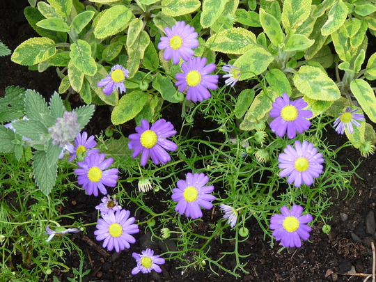 Variegated sage and Swan River Daisy (Brachycome iberidifolia (Swan River Daisy))