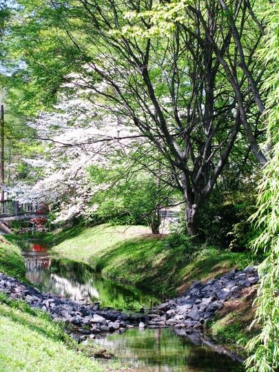 azaleas along the creek bed