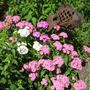 Dianthus barbatus...Sweet William