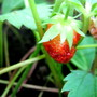 Wild Strawberry... tiny but packs a lot of flavour...