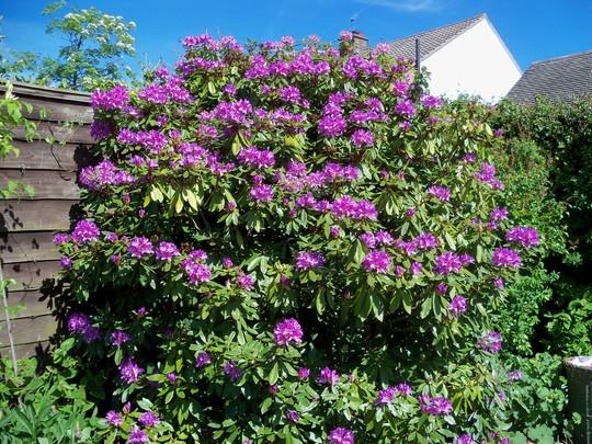 rhododendron back garden