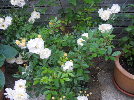 The New Climbing Rose