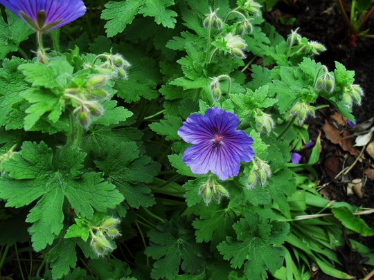 A Large blue geranium