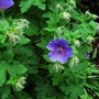 A Large blue geranium