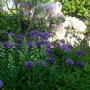 Alliums with Wisteria Pink Ice in background and Dictamus in bud.