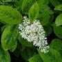 Syringa Variegata (Syringa emodi (Himalayan Lilac))