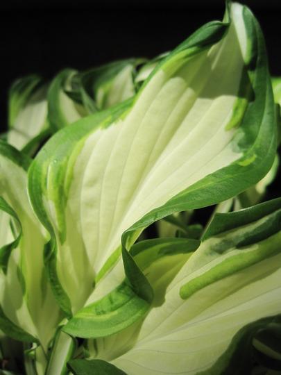 hosta Koreana (Hosta undulata)