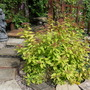 Spiraea_japonica_goldflame_