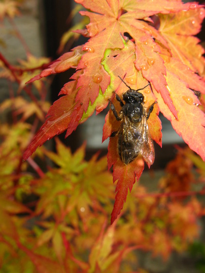 Acer & Wasp combo (acer)