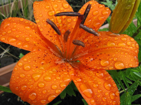 Lillie after the rains