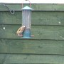 Goldfinches_019