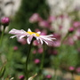 Painted Daisy (Pyrethrum)