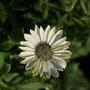 "Osteospermum ""Evita"" (Osteospermum)"