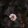 """Physocarpus """"Diabolo"""" (Physocarpus opulifolius)"""