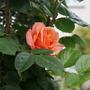"Rose "" Schoolgirl"" (Rosa ..Climbing Rose)"