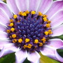 osteospermum close up