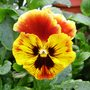 Pansy Rococco 1.